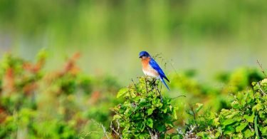 Eastern Bluebird by Gary Hall