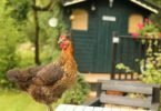 Chicken and Hen House