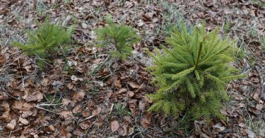 Fir seedling