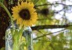 Mason jar with sunflower