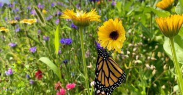 Monarch in wildflowers